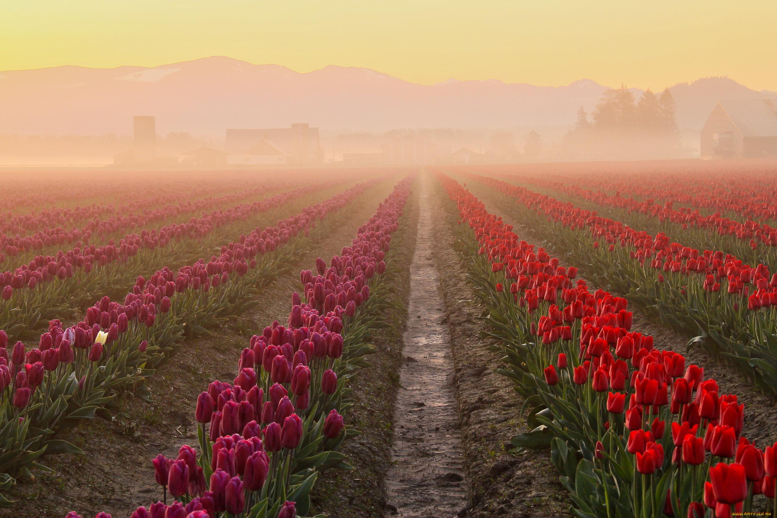 Тюльпаны на рассвете фото